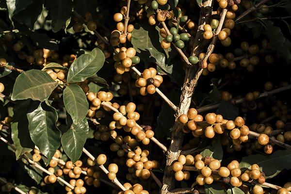 Variedades de café no Brasil. Conheça o Catuaí  - Amarelo - Coffee Mais - Blog