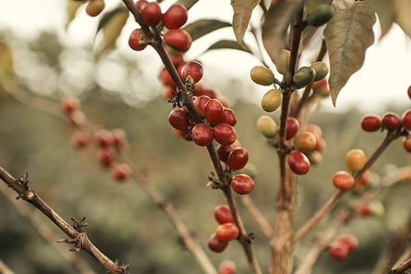 Variedades de café no Brasil. Conheça o Catuaí  - Vermelho - Coffee Mais - Blog