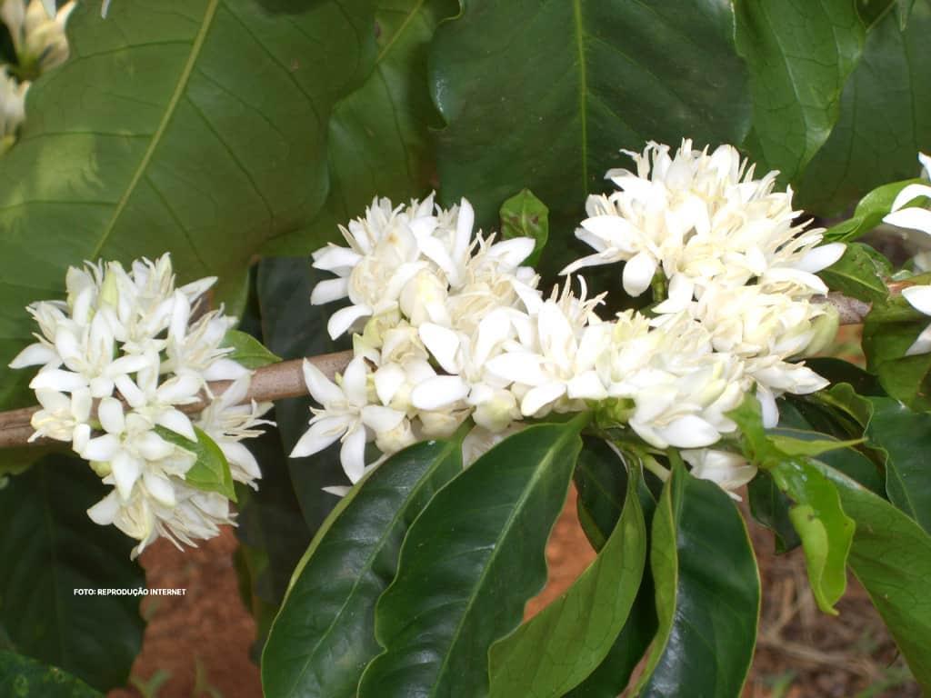 Flores de Café - Reprodução Internet